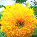 Sunny Sunflowers - 50 pcs - Jala & Noor Internationally sourced Arabic and Islamic goods