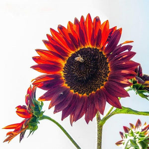 Sunny Sunflowers - 50 pcs - Jala & Noor Unique Gardening and Home Products