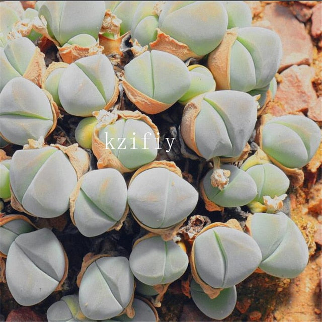 Little Bunny Succulents - 100 Seeds - Jala & Noor Unique Gardening and Home Products