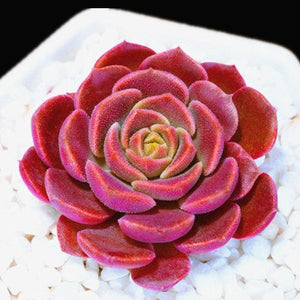 The Maui Succulent - 100 Seeds - Jala & Noor Unique Gardening and Home Products