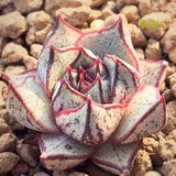 The Maui Succulent - 100 Seeds - Jala & Noor Internationally sourced Arabic and Islamic goods