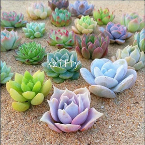 Raw Stone Succulent - 100 pcs - Jala & Noor Internationally sourced Arabic and Islamic goods