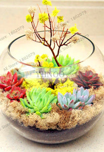 Petit California Succulents - 200 pcs - Jala & Noor Internationally sourced Arabic and Islamic goods