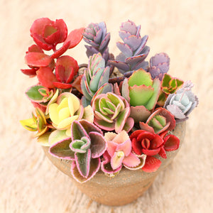 Family Succulents - 100 seeds - Jala & Noor Unique Gardening and Home Products