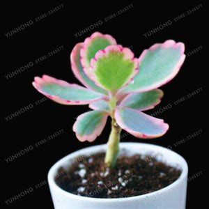 Family Succulents - 100 seeds - Jala & Noor Internationally sourced Arabic and Islamic goods