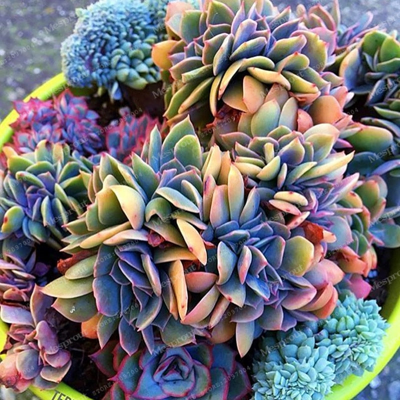 Sunrise Rainbow Succulents - 100 Seeds - Jala & Noor Internationally sourced Arabic and Islamic goods