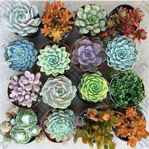 Ginger's Assorted Succulents - 100 Seeds - Jala & Noor Unique Gardening and Home Products