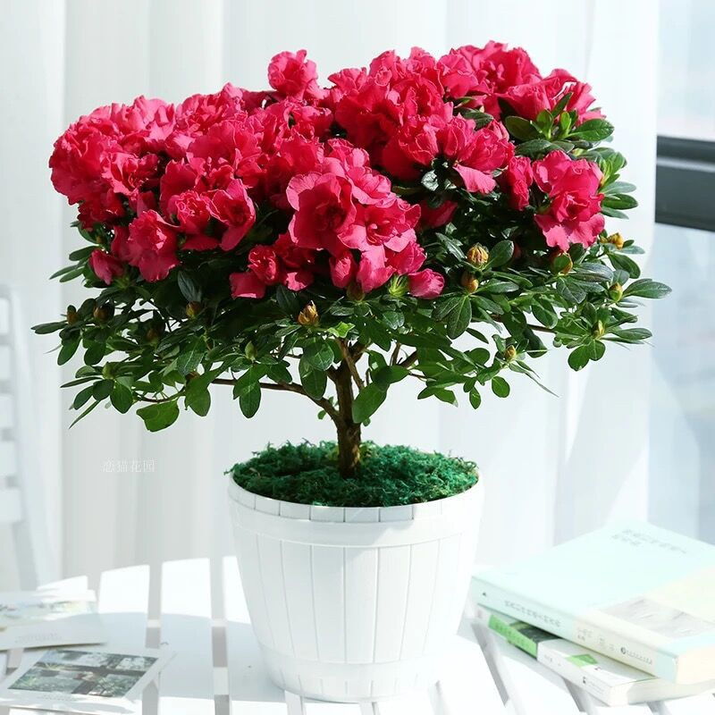 Copy of Red Rhododendrons - 100 Seeds - Jala & Noor Internationally sourced Arabic and Islamic goods