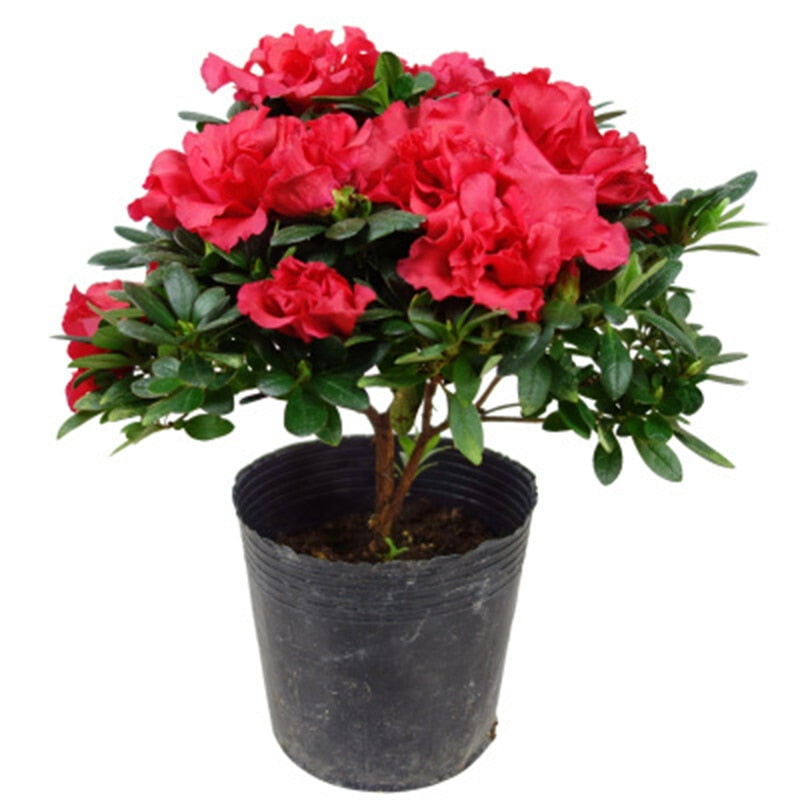 Ruby Red Rhododendrons - 100 Seeds - Jala & Noor Internationally sourced Arabic and Islamic goods