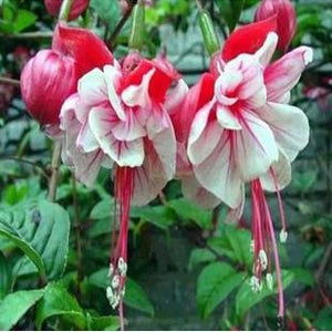 Lantern Lady - 20 Seeds - Jala & Noor Internationally sourced Arabic and Islamic goods