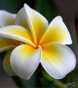 Happy Hawaiian Plumeria Flowers - 200 seeds - Jala & Noor Unique Gardening and Home Products