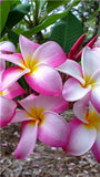 Happy Hawaiian Plumeria Flowers - 200 seeds - Jala & Noor Internationally sourced Arabic and Islamic goods