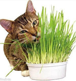 Lurky's Cat Grass - Up to 1000 Seeds - Jala & Noor Internationally sourced Arabic and Islamic goods