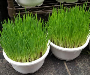 Lurky's Cat Grass - Up to 1000 Seeds - Jala & Noor Unique Gardening and Home Products