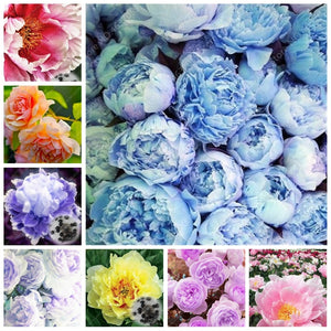 Peonies are Perfect - 20 seeds - Jala & Noor Internationally sourced Arabic and Islamic goods