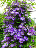 Climbing Clematis - 100 Seeds - Jala & Noor Internationally sourced Arabic and Islamic goods