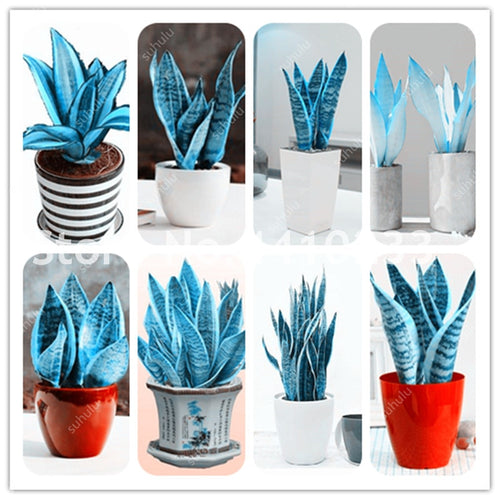 The Original Snake Plant - 120 Seeds - Jala & Noor Internationally sourced Arabic and Islamic goods