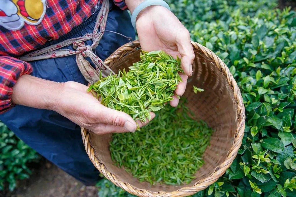 Cultivars make single origin teas unique
