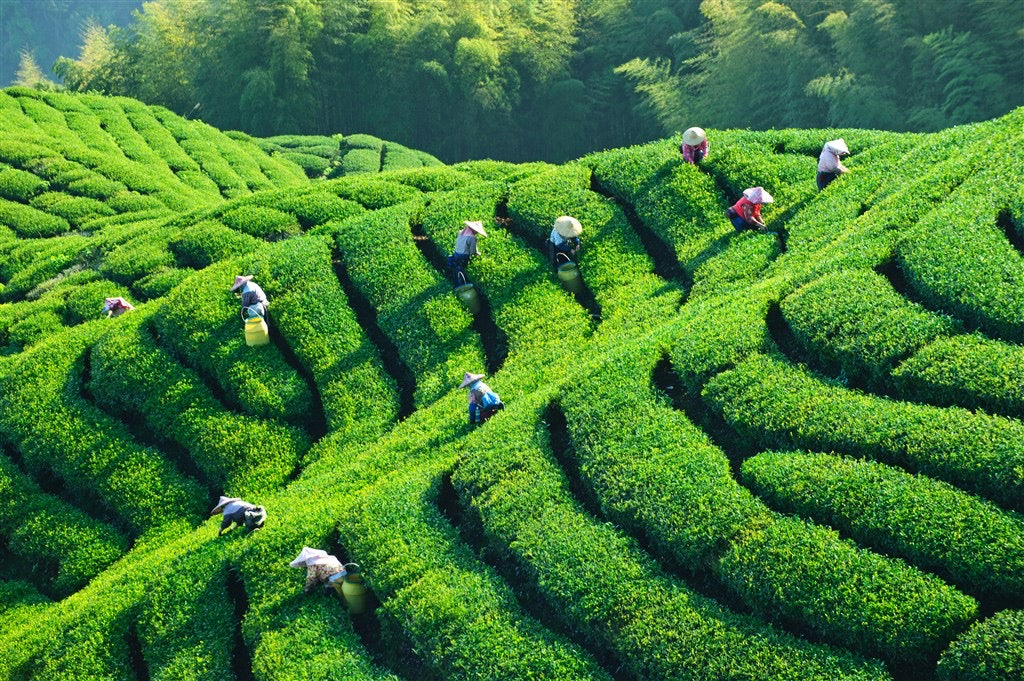 Teas absorb the environment they are grown