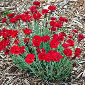 Open image in slideshow, Dianthus 'Fire Star' (Pinks / Carnations)