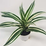 Dracaena 'White Bird' (Dragon Tree)