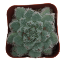 Load image into Gallery viewer, Echeveria setosa demunita (Firecracker Plant)