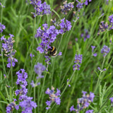 Lavandula angustifolia 'Early Scent Blue' (English Lavender)