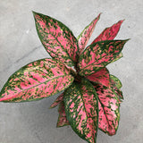 Aglaonema 'Lady Valentine' (Chinese Evergreen)