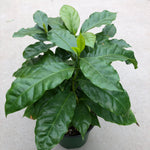 Coffea arabica (Coffee Plant)
