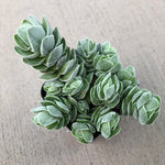 Crassula 'Pangolin'