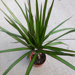 Dracaena marginata (Dragon Tree)