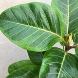 Ficus altissima 'Yellow Gem' (Rubber Tree)