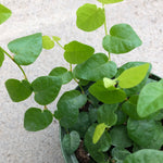 Ficus repens (Green Creeping Fig)