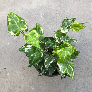 Hedera helix 'Kolibri' (English Ivy)