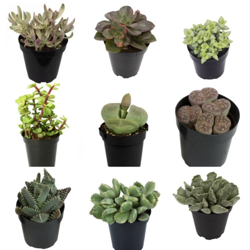 Assorted Succulents (2.5'' Premium)