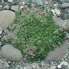 Load image into Gallery viewer, Thymus praecox 'Minus' (Thyme)