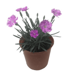 Dianthus 'Neon Star' (Pinks / Carnations)