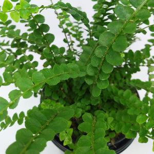 Nephrolepis cordifolia 'Lemon Buttons' (Fern)