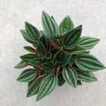 Peperomia 'Russo'