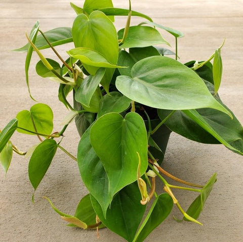 Philodendron cordatum (Heartleaf)