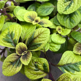 Plectranthus ciliatus 'Easy Gold' (Swedish Ivy)