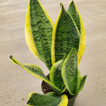 Sansevieria trifasciata 'Robusta' (Snake Plant / Mother-in-Law's Tongue)