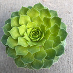 Sempervivum 'Gold Nugget' (Hens and Chicks)