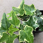 Hedera helix 'Anne Marie' (English Ivy)