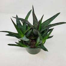 Load image into Gallery viewer, Alworthia 'Black Gem'