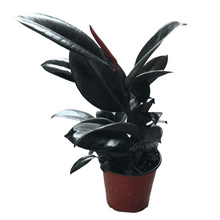 Load image into Gallery viewer, Ficus elastica (Burgundy Rubber Plant)