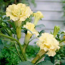 Load image into Gallery viewer, Datura metel 'Ballerina Yellow'
