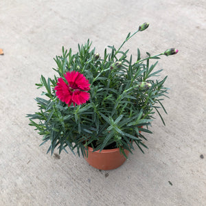 Dianthus 'Fire Star' (Pinks / Carnations)