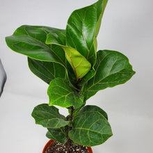 Load image into Gallery viewer, Ficus lyrata (Fiddle Leaf Fig)
