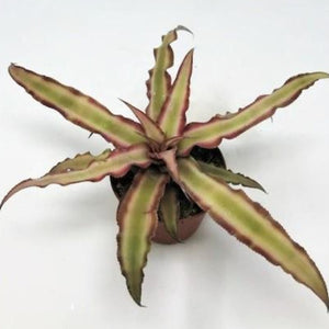 Cryptanthus bivittatus (Earth Star)
